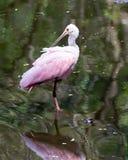 Un Spoonbill rosado en el pantano la Florida del sacacorchos Imagenes de archivo