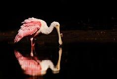 Un spoonbill rosado que alimenta en agua tranquila fotos de archivo libres de regalías