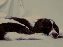 The Un-sprung Springer. Springer Spaniel waiting obediently for it& x27;s owner Stock Photography
