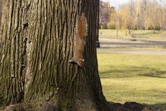 Un squirel sauvage a capturé dans un jour ensoleillé froid d'automne photo stock