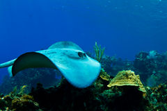Un stingray au Honduras photographie stock libre de droits