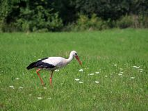 Un storksand sur le pr? vert avec les fleurs blanches village Lumi?re du jour Photographie d'?t? photographie stock libre de droits