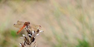 Un striolatum commun de Sympetrum de libellule de darter se reposant sur une certaine végétation morte tandis que sur le regard p photographie stock libre de droits