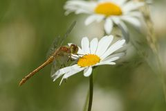 Un striolatum commun nouvellement émergé de Sympetrum de libellule de Darter étant perché sur un vulgare de Leucanthemum de fleur Photo stock