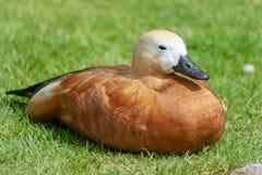 Un sunbath enjoing del pato imagenes de archivo