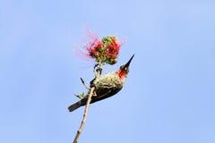 Un sunbird de chasseurs sur la branche de la fleur rouge images libres de droits
