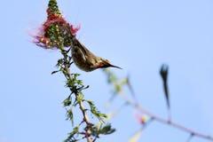 Un sunbird dei cacciatori vicino ad un fiore rosso Fotografia Stock