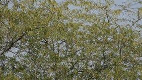 Un sunbird púrpura masculino canta en el árbol de haba, mostrando apagado ambo su cuerpo negro brillante y tono agraciado metrajes