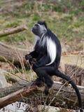 Un support de colobus de l'Angola sur le tronc d'arbre Photographie stock