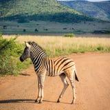 Puledro della zebra Fotografia Stock