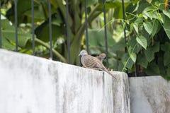 Un supporto di due colombe sul recinto Immagine Stock