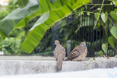 Un supporto di due colombe sul recinto Immagini Stock Libere da Diritti