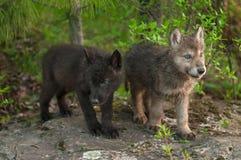 Un supporto di due cuccioli del lupo (canis lupus) su roccia Fotografia Stock