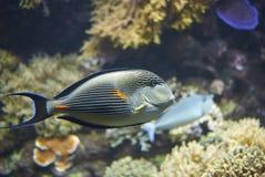 Un surgeonfish de Sohal fotografía de archivo