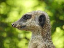 Un suricat supervisa sentarse en una rama de árbol foto de archivo