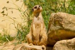 Un suricata Foto de archivo