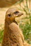 Un suricata Imagen de archivo libre de regalías