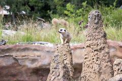 Un surikata en guardia en la roca Fotos de archivo libres de regalías