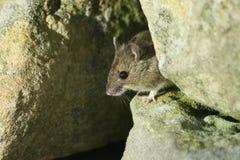 Un sylvaticus sauvage mignon d'Apodemus de souris en bois poussant sa tête hors de sa maison dans un mur en pierre Photographie stock libre de droits