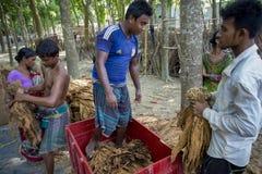 Un tabacco di misurazione del lavoratore del tabacco copre di foglie in Dacca, il manikganj, Bangladesh Immagine Stock