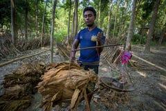 Un tabacco di misurazione del lavoratore del tabacco copre di foglie in Dacca, il manikganj, Bangladesh Immagini Stock Libere da Diritti