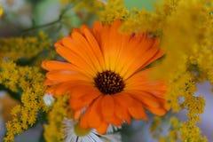 Un tagete con altre fioriture fotografia stock libera da diritti