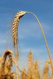 Un tallo del trigo aislado contra un cielo azul foto de archivo