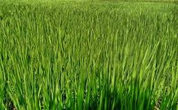 Un tamaño grande del fondo del campo del arroz foto de archivo
