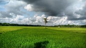 Un tamaño grande del fondo del campo del arroz imagen de archivo
