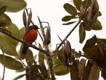 Un Tanager Écarlate-Gonflé dans la forêt humide Images libres de droits