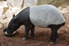 Un tapiro Fotografia Stock Libera da Diritti