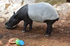 Un tapiro Fotografia Stock