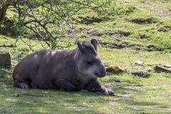 Un tapiro brasiliano si rilassa nella tonalità di un albero un giorno soleggiato immagini stock