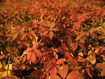 Un tapis des feuilles rouges Photos stock