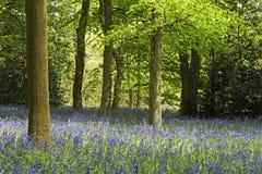 Un tapis des jacinthes des bois Photos stock
