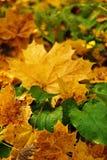 Un tappeto delle foglie cadute sulla terra nella foresta di autunno Fotografie Stock