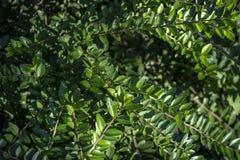Un tappeto di piccole foglie verdi del pileata del Lonicera del caprifoglio Sfondo naturale elegante di struttura fine per qualsi fotografie stock