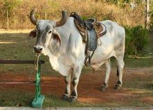 Un taureau d'équitation Photo stock