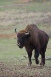 Un taureau d'aurochs Images stock