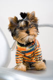 Un terrier Fotografie Stock Libere da Diritti