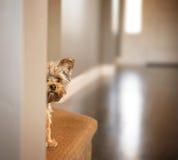 Un terrier de Yorkshire mignon jetant un coup d'oeil autour d'un mur Image libre de droits