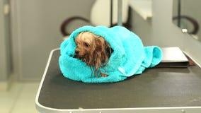 Un terrier de Yorkshire mojado envuelto en toalla azul en una tabla en una clínica veterinaria almacen de metraje de vídeo