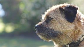 Un terrier di bordo insolente Fotografia Stock Libera da Diritti