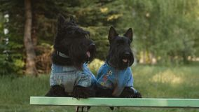 Un terrier di due scottish stock footage