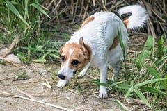 Un terrier di Jack Russell del cane sta scuotendosi fuori dall'acqua dopo il bagno nel fiume Fotografie Stock Libere da Diritti