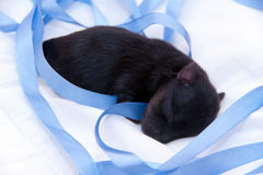 Un terrier di Yorkshire appena nato Fotografia Stock
