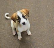 Un terrier mignon de Russel de puppyJack photographie stock