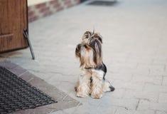 Un terrier solo del perro está esperando fielmente al dueño en la puerta en la calle Acaricia concepto imágenes de archivo libres de regalías