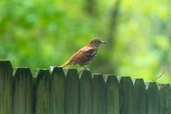 Un threasher brun est été perché sur une barrière en bois photographie stock libre de droits
