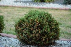 Un thuja que crece en la hierba Imagenes de archivo